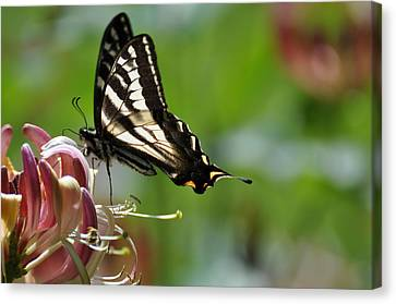 Canvas Print featuring the photograph Zebra Swallowtail Sipping Honeysuckle by Ronda Broatch