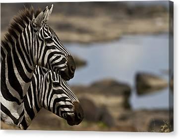 Zebras At Mara River Crossing Canvas Print by Manoj Shah