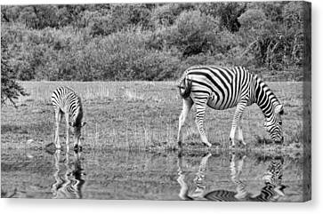 Zebras Canvas Print by Lynn Bolt