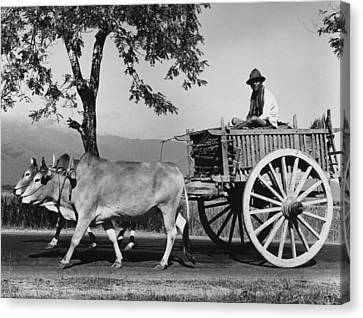 Zebu Cart Canvas Print by Richard Harrington