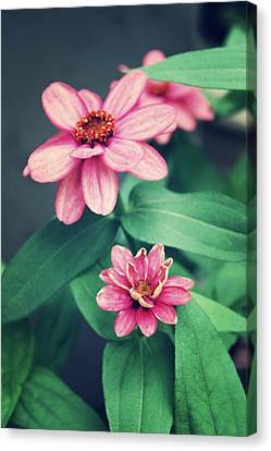 Zinnias Canvas Print by Cathie Tyler