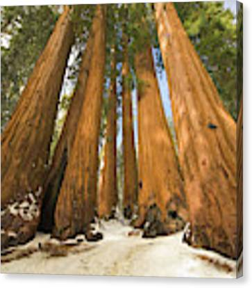 Giant Sequoias Sequoia N P Canvas Print by Yva Momatiuk John Eastcott