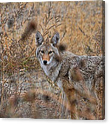 Coyote Eyes Canvas Print by David Armstrong
