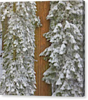 Giant Sequoias And Snow  Canvas Print by Yva Momatiuk John Eastcott
