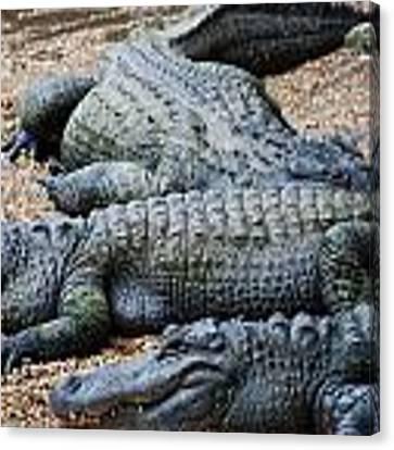 Alligators Sunning Canvas Print by Beverly Stapleton