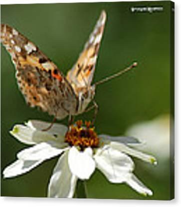 Butterfly Macro Photography Canvas Print by Stwayne Keubrick