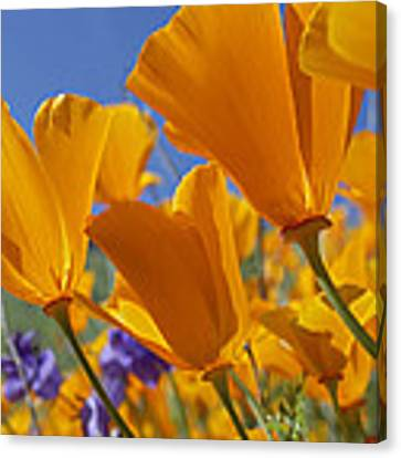 California Poppy Eschscholzia Canvas Print by Tim Fitzharris