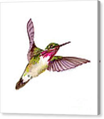 Calliope Hummingbird Canvas Print by Amy Kirkpatrick