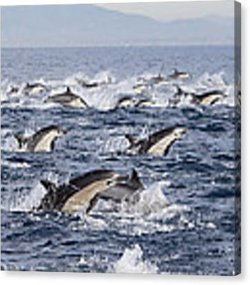 Common Dolphins Surfacing San Diego Canvas Print by Richard Herrmann