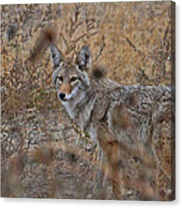 Coyote Canvas Print by David Armstrong