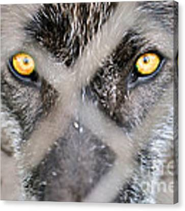 Eyes Behind The Fence Canvas Print by Dan Friend