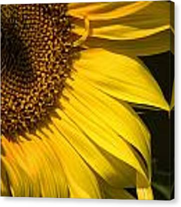 Find The Spider In The Sunflower Canvas Print by Belinda Greb