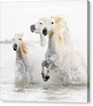 Horses  Hight Key Canvas Print by Ciro De Simone