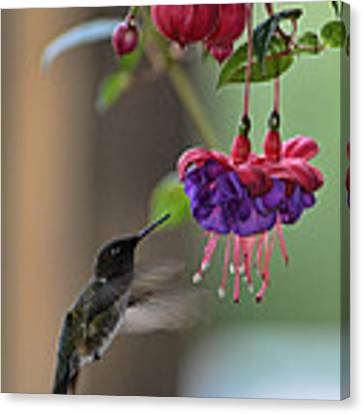 Hummingbird Canvas Print by David Armstrong