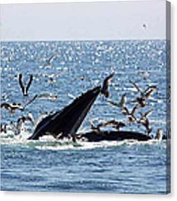 Humpback Whale Bubble Feeding Canvas Print by Jean Clark