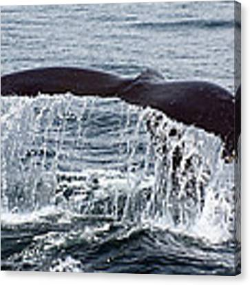 Humpback Whale Flukes Canvas Print by Jean Clark