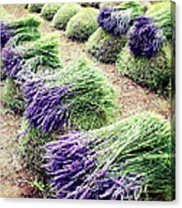 Lavender Harvest Canvas Print by Lupen  Grainne