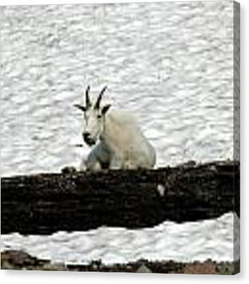 Mountain Goat Canvas Print by David Armstrong