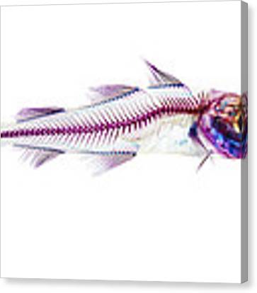 Pacific Cod Canvas Print