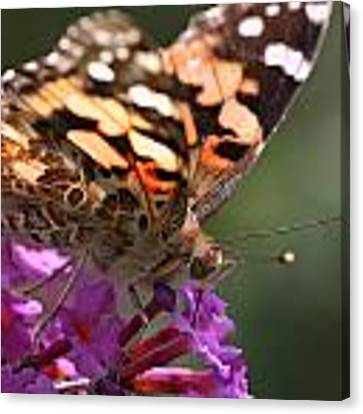 Painted Lady On Butterfly Bush Canvas Print by William Selander
