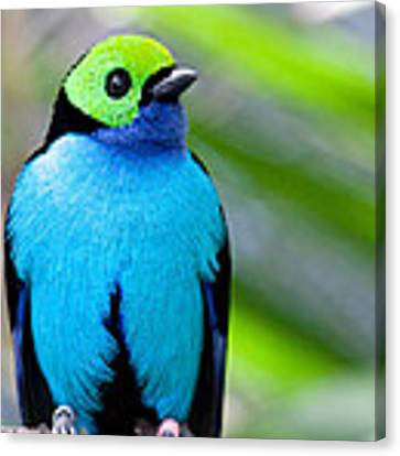 Paradise Tanager Canvas Print by Nathan Rupert