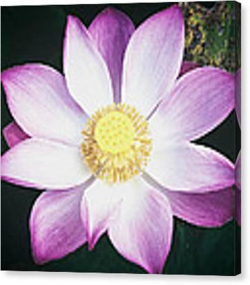 Pink Lotus Flower Canvas Print by Stefan Nielsen