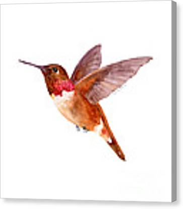 Rufous Hummingbird Canvas Print by Amy Kirkpatrick