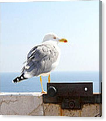 Seagull Canvas Print by Meghan OHare