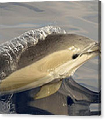 Short-beaked Common Dolphin Azores Canvas Print by Malcolm Schuyl