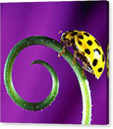 Side View Close Up Of Yellow Ladybug Canvas Print by Panoramic Images