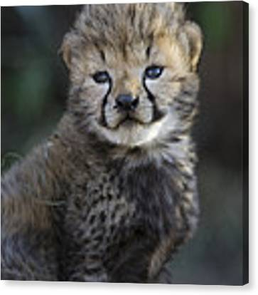 Very Young Cheetah Cub Maasai Mara Canvas Print by Suzi Eszterhas