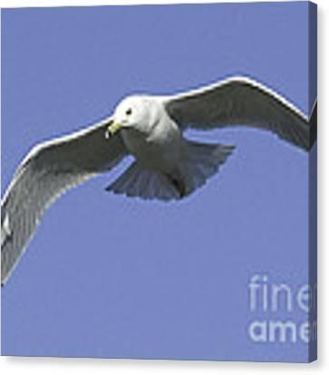 White Seagull In Flight Canvas Print by Mae Wertz