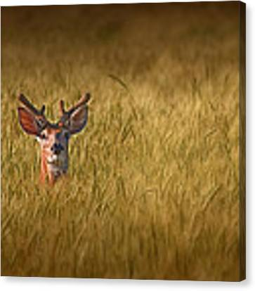 Whitetail Deer In Wheat Field Canvas Print