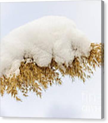 Winter Reed Under Snow Canvas Print by Elena Elisseeva