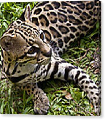 Young Ocelot Canvas Print by Heiko Koehrer-Wagner