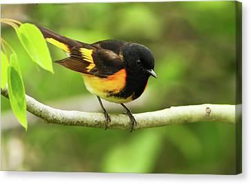 American Redstart Warbler Canvas Print by Mircea Costina Photography