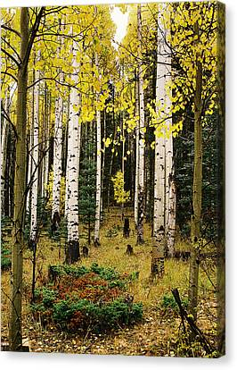 Aspen Grove In Upper Red River Valley Canvas Print