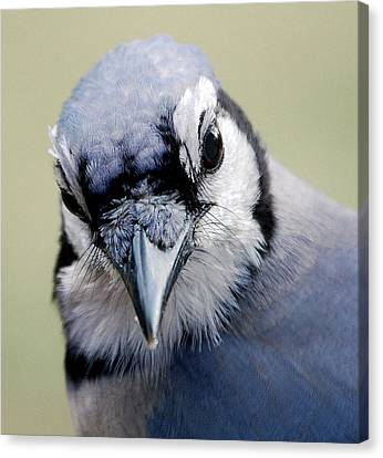 Blue Jay Canvas Print by Skip Willits