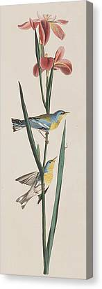 Blue Yellow-backed Warbler Canvas Print by John James Audubon