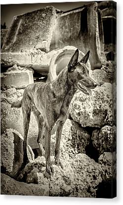 Brock Dutch Shepard  Canvas Print