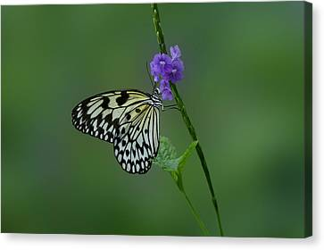 Butterfly On Flower  Canvas Print by Sandy Keeton