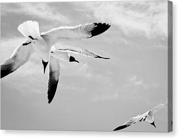 Chaos - Seagulls Black And White Canvas Print by Colleen Kammerer
