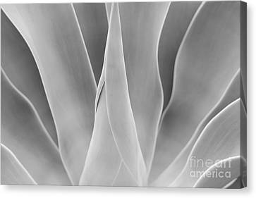 Agave Waves   Canvas Print