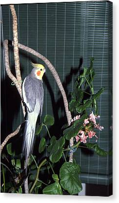 Cockatiel Named Pete Canvas Print