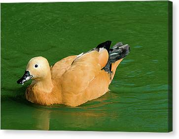 Duck In Green Water Canvas Print by John Buxton