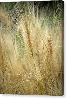 Foxtail Barley Canvas Print by Jouko Lehto