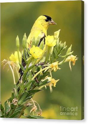 Canvas Print featuring the photograph  Goldfinch by Debbie Stahre