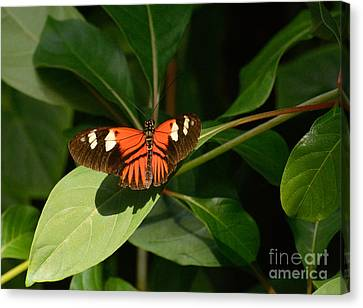 Heliconius Erato Lativitta Butterfly On Leaves Canvas Print by Merrimon Crawford