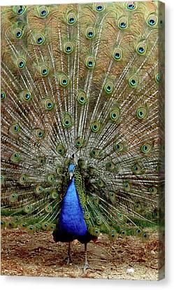 Peacock Canvas Print -  Iridescent Blue-green Plumage by LeeAnn McLaneGoetz McLaneGoetzStudioLLCcom