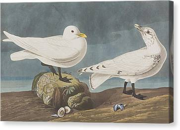 Ivory Gull Canvas Print by John James Audubon